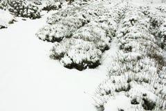 Rijen van lavendel in sneeuw worden behandeld die stock foto's
