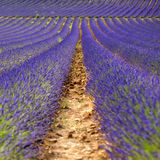 Rijen van lavendelbloemen royalty-vrije stock foto's