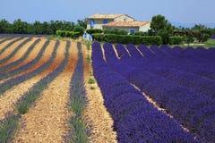 Rijen van Lavendelbloemen, gebied op plateau van Valensole Stock Afbeelding