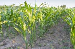 Rijen van maïs Stock Afbeeldingen
