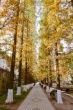 Rijen van metasequoia glyptostroboides Royalty-vrije Stock Foto