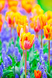 Rijen van mooie oranje en rode tulpen Royalty-vrije Stock Fotografie