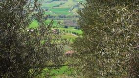Rijen van olijfbomen op tuscanian heuvels stock footage
