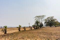 Rijen van palmen dichtbij padielandbouwbedrijf kijken ontzagwekkend in zonnige dag royalty-vrije stock afbeelding