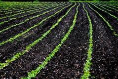 Rijen van plantaardige gewassen Royalty-vrije Stock Afbeelding