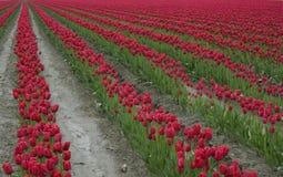 Rijen van rode tulpen Royalty-vrije Stock Afbeeldingen