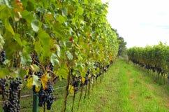 Rijen van rode wijndruiven stock fotografie