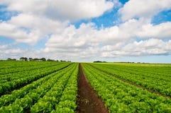Rijen van salade royalty-vrije stock fotografie