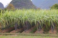 Rijen van suikerriet Stock Afbeeldingen