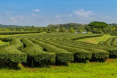 Rijen van theebomen in de vallei bij Chinees theelandbouwbedrijf Mooi groen theegebied in de vallei onder blauwe hemel en witte w Stock Fotografie