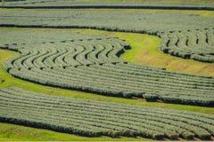 Rijen van theebomen in de vallei bij Chinees theelandbouwbedrijf Mooi groen theegebied in de vallei onder blauwe hemel en witte w Stock Afbeeldingen