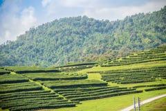 Rijen van theebomen in de vallei bij Chinees theelandbouwbedrijf Mooi groen theegebied in de vallei onder blauwe hemel en witte w Royalty-vrije Stock Fotografie