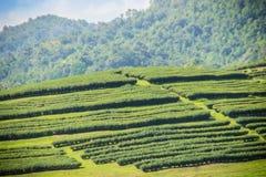 Rijen van theebomen in de vallei bij Chinees theelandbouwbedrijf Mooi groen theegebied in de vallei onder blauwe hemel en witte w Stock Foto's