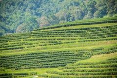 Rijen van theebomen in de vallei bij Chinees theelandbouwbedrijf Mooi groen theegebied in de vallei onder blauwe hemel en witte w Royalty-vrije Stock Afbeelding