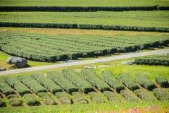 Rijen van theebomen in de vallei bij Chinees theelandbouwbedrijf Mooi groen theegebied in de vallei onder blauwe hemel en witte w Royalty-vrije Stock Foto's