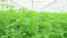 Rijen van tomaten hydroponic installaties stock video