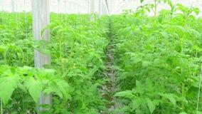 Rijen van tomaten hydroponic installaties stock footage