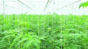 Rijen van tomaten hydroponic installaties stock videobeelden