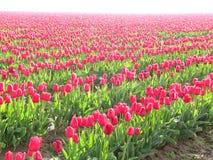 Rijen van Tulpen voor altijd Royalty-vrije Stock Foto's