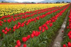 Rijen van tulpenbloei in de staat van Washington stock foto's