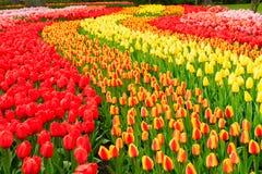 Rijen van tulpenbloemen stock afbeelding
