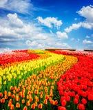 Rijen van tulpenbloemen stock fotografie