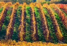 Rijen van wijngaard Royalty-vrije Stock Afbeeldingen