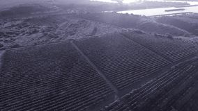 Rijen van wijngaard alvorens te oogsten stock footage