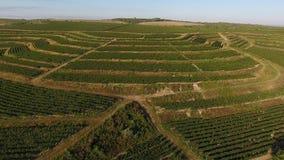 Rijen van wijngaard alvorens te oogsten, gezien van hommel stock videobeelden
