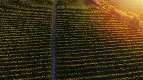 Rijen van wijngaard alvorens te oogsten, hommelmening Royalty-vrije Stock Afbeeldingen