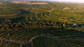 Rijen van wijngaard alvorens te oogsten, hommelmening Stock Foto's