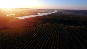 Rijen van wijngaard alvorens te oogsten, hommelmening Stock Afbeeldingen