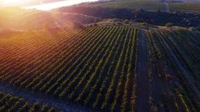 Rijen van wijngaard alvorens te oogsten, hommelmening Royalty-vrije Stock Foto's