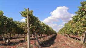 Rijen van wijngaarden met blauwe hemel stock videobeelden