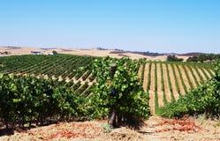 Rijen van wijnstok in wijngaarden, alentejo Royalty-vrije Stock Foto's