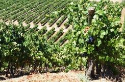 Rijen van wijnstok in wijngaarden, Portugal Stock Afbeelding