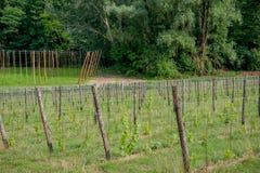 Rijen van wijnstokken Stock Afbeelding
