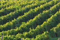 Rijen van wijnstokken Royalty-vrije Stock Afbeeldingen