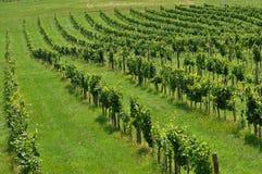 Rijen van wijnstokken Royalty-vrije Stock Foto's
