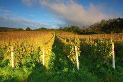 Rijen van wijnstokken aan zonsondergang Royalty-vrije Stock Afbeeldingen