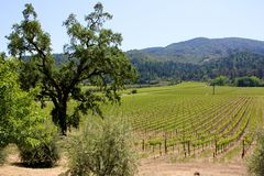 Rijen van wijnstokken bij een wijngaard in Sonoma Californië royalty-vrije stock afbeeldingen