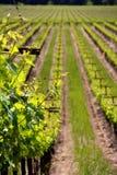 Rijen van wijnstokken bij een wijngaard in Sonoma Californië stock afbeelding