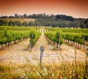 Rijen van wijnstokken bij eerste de wijnbouwwijnmakerij van Australië worden genomen - zonsondergang die Royalty-vrije Stock Afbeelding