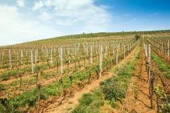 Rijen van wijnstokken bij wijngaard in de Westelijke Oekraïne stock fotografie
