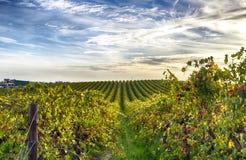 Rijen van wijnstokken bij wijngaard in McLaren-Dal, Zuid-Australië Stock Foto's