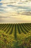 Rijen van wijnstokken bij wijngaard in McLaren-Dal, Zuid-Australië Royalty-vrije Stock Foto's