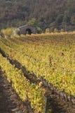 Rijen van wijnstokken bij zonsondergang in Toscanië, Italië Royalty-vrije Stock Foto's