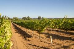 Rijen van wijnstokken in Californië stock afbeeldingen