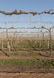 Rijen van Wijnstokken in de Winter Royalty-vrije Stock Foto's