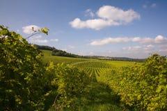 Rijen van wijnstokken in een wijngaard Stock Afbeelding